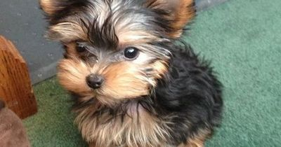 Yorkie ....Oh Baby, aren't U just the Cutest!!!....