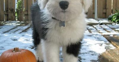 Old English Sheep Dog: the kind of dog i've been dying to have! But only if our next house has a big yard...