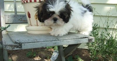 Shih tzu puppies don't look real; they look like wind-up stuffed toys! Sooo cute!