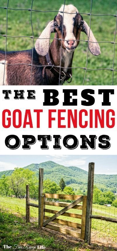 Goats are notorious for testing fences. Learn the best options when it comes to goat fencing so that you can keep your goats safe and contained!