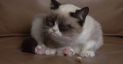 """Be prepared to fall in love with """"Tardar Sauce"""" the Grumpy Cat!!"""