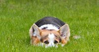 Here's a sneaky little Corgi...ready to pounce! I'm hiding, you can't see me! #corgi