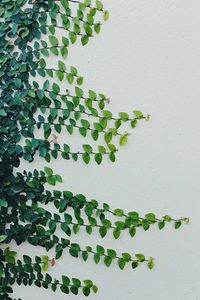 Ficus pumila (creeping fig or climbing fig) in the family Moraceae, native to East Asia.