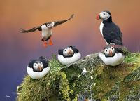 Roosting Puffins by Sabry Mason on 500px - #photography #birds #animals