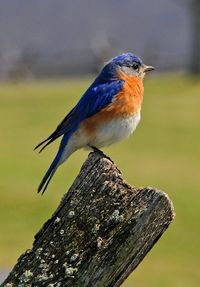 A bluebird sits on the split rail fence at the Bloody Lane
