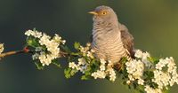 the common cuckoo (cuculus canorus) is a member of the cuckoo family of birds. this species is a widespread summer migrant to europe and asia, and winters in africa. from emuwren