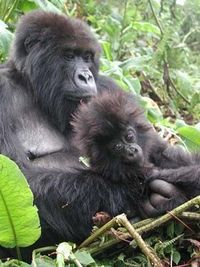 Monitoring Endangered Gorillas in Africa - The Dian Fossey Gorilla Fund International