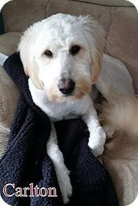 New Jersey, NJ - Goldendoodle in Bordentown NJ - Carlton, a dog for adoption. http://www.adoptapet.com/pet/12482828-new-jersey-new-jersey-goldendoodle-mix