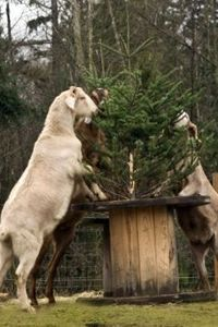 Goats love to munch on your leftover Christmas tree! Perfect treat for them :)