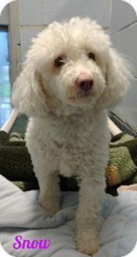 New Jersey, NJ - Poodle (Miniature). Meet Jackson NJ - Snowy, a dog for adoption. http://www.adoptapet.com/pet/18087359-new-jersey-new-jersey-poodle-miniature