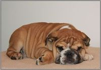Hims just waitin for me to smooch him face!!! autumn bulldogs *I WANT!!
