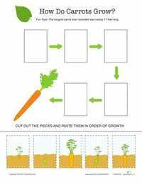 Teach your child all about the growth cycle of carrots, those bright orange veggies found on dinner tables everywhere.