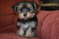 Morkie Puppies | Cute Little Morkie Puppy! | Animals