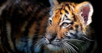 Photograph Baby Siberian Tiger by Ryu Jong soung on 500px