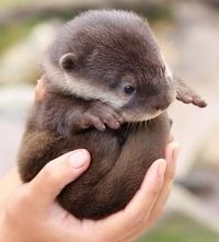 cute little baby otter! can i have one???