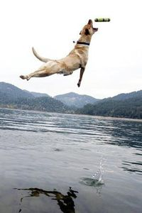 Yellow Lab :) - Click image to find more hot Pinterest pins
