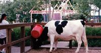 Minnie Moo was Holstein cow born with a Mickey head icon on her side.