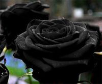 Black roses has mutiple meaning inside it. Black rose is actually a darker shade of purple, maroon or red. It can also be a dyed white rose, made to look black by placing it in black ink or by burning a rose under controlled circumstances. Black rose is a...