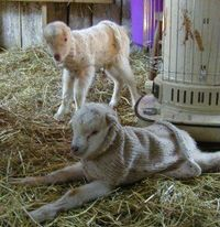 #goatvet loves these knitted coat patterns for newborn goats -machine or hand knits and even a crochet pattern