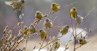 I think these might be American Goldfinch, altho' their colour is softer, maybe fledglings
