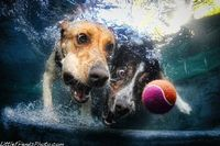 Seth Casteel's photos of dogs diving into swimming pools in hot pursuit of neon tennis balls have been a sensation.