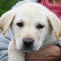 Lesley is an adoptable Yellow Labrador Retriever searching for a forever family near Huntley, IL. Use Petfinder to find adoptable pets in your area.
