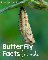 These fun butterfly facts for kids are a perfect way to teach children about caterpillars and butterflies. Learn about the butterfly lifecycle, caterpillar fact