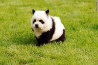 By Emily Lodish, Global Post They only look like baby pandas. These little bundles of joy are actually chow chow dogs that have been dyed black-and-white to loo
