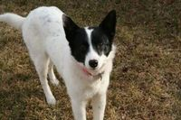 Aussie is an adoptable Border Collie searching for a forever family near Lakewood, CO. Use Petfinder to find adoptable pets in your area.