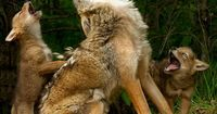 "Howling lessons - yes, a real photo - by Debbie DiCarlo, a longtime nature photographer, who says: ""I was attending a photography workshop in Hinckley, Minnesota, where I had the opportunity to take photos of adorable baby animals,"" she wrote in..."