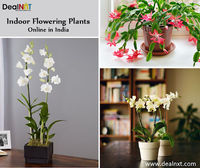 Indoor Flowering Plants Online in India  Shop Indoor Plants from India's largest online Plants Nursery for indoor plants. Want your garden to be the best part of your home, you are at the right place. If you are looking to buy fresh and healthy in...