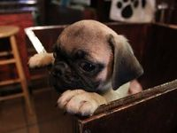 Pug in a drawer. I would like one for each drawer at work please.