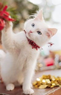 White kitten ~ Decorating for the holidays.