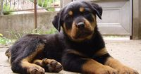dog | Rottweiler puppy wallpaper free wallpaper in free pet category: Dog