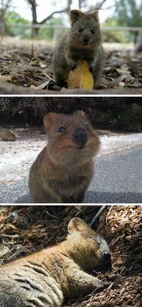 Quokka, The Happiest Animal In The World