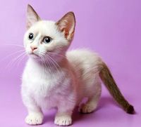 Munchkin cats come in 4 sizes: Standard, Super Short, VW Microbus and Rug Hugger.