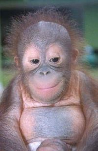 Sweet baby Orangutan! Coincidentally the same look i get when i know the work suck up is in trouble!! That can't be wrong to admit to...is it??!!