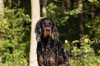 gordon setters | File:Wet gordon setter head.jpg - Wikimedia Commons