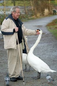 This is Burt. he has been feeding and friends with the muted swans in Stanley park for many many years. There is only one other person I have ever seen that the
