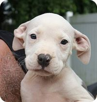 New Jersey, NJ - Boxer Mix. Meet Bordentown NJ - BoxerX Puppies, a puppy for adoption. http://www.adoptapet.com/pet/15935521-new-jersey-new-jersey-boxer-mix