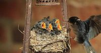 Nest with baby swallows - <3 <3