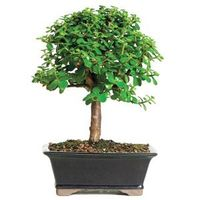 The Dwarf Jade is one of the easiest indoor; bonsai to grow and is recommended for beginners. Small, rounded, fleshy leaves contrast nicely with straight, substantial trunks. Dwarf Jade trees adapt well to a variety of light conditions and can manage with...