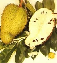 Soursop the next Anti Cancer Herbal Soursop is the fruit of Graviola tree which is believed to kill cancer cells with the potential power of 10,000 times stronger than chemo therapy. Efficacy of soursop fruit is as anti-tumor / cancer is very strong, and ...