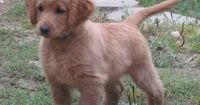 Golden Cocker Retriever! SO CUTE! And FULL GROWN! He stays a puppy forever!!!!!!!!!!!!!!!!!!!!!! AHHHHHH!