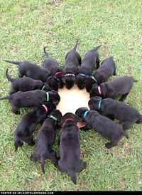 Thirteen adorable wee black little puppies drinking. Wook at the wee widdle tails...