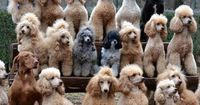i love where all their eyes are looking and the black fellow with ears straight up, not a poodle, looks like he and the brown lab snook into the pic.. hilarious...