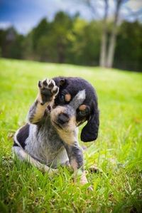 I'm going to have me a little Bluetick Coon Hound <3 for my baby