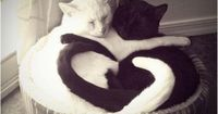 A black and white cat couple. #YinAndYang #BFFs