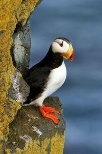 """Horned Puffin poses in """"the Pribs"""" (Cameron Cox)"""