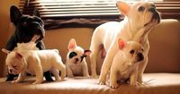 I want a french bulldog so bad! would be the perfect fit with our other 2 dogs
